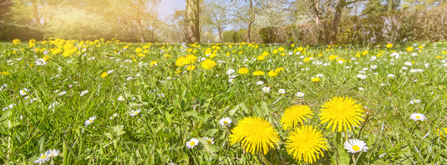 Idyllic flower meadow with dandelions and daisies in spring