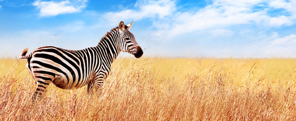 Foto op Aluminium Zebra Zebra in the African savannah. Serengeti National Park. Africa. Tanzania. Wide format.