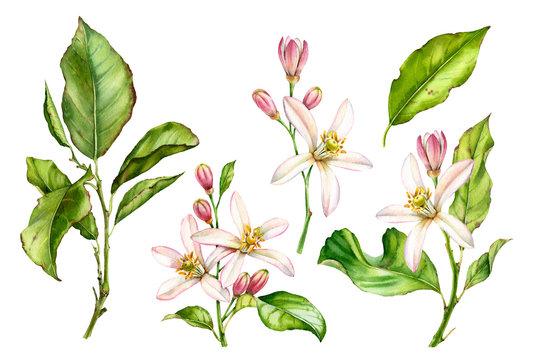 Watercolor Botanical illustration citrus tree branch white flowers
