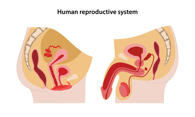 Male and female reproductive system. Lateral view of human reproductive system. Anatomical vector illustration in flat style over white background.