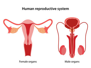 Male and female reproductive system. Anterior view of human reproductive system. Anatomical vector illustration in flat style over white background.