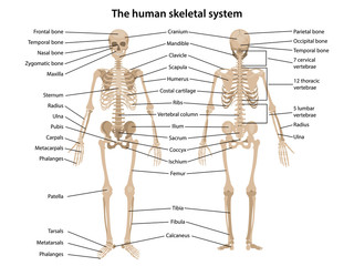 Human skeleton in front and back views with main parts labeled. Vector illustration in flat style over white background.