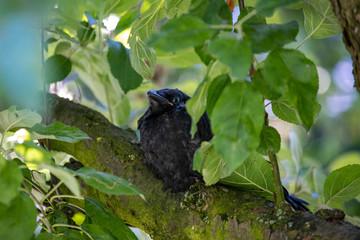 Junge Krähe, Ästling im Apfelbaum