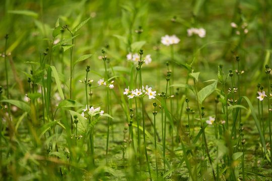 Beautiful white water violet bach flowers blossoming in the forest pond. Natural herb growing in water with flowers.