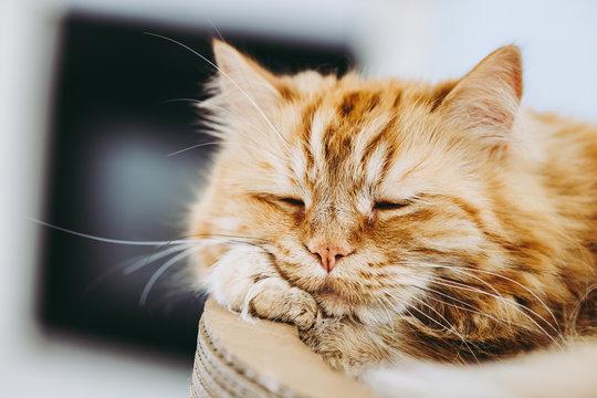 Portrait de chat angora roux couché