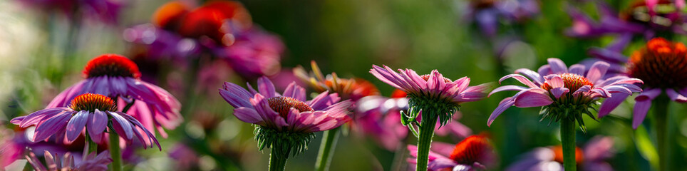 The Echinacea - coneflower close up in the garden Wall mural