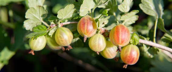 Close up view of the organic gooseberry berry hangs on a branch.