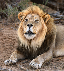 Fototapete - Black maned male lion roaring during the daytime in the Kgalagadi while resting. Panthera leo