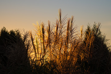 ozdobne trawy w ogrodzie w świetle zachodzącego słońca