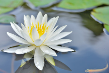 Foto op Aluminium Waterlelies 睡蓮 (スイレンの花) 約二千年前の蓮の池に咲く睡蓮 Japan beautiful scenery photo Water lily Water lily blooming in lotus pond about 2,000 years ago 熊本県山鹿市鹿央(里やま 古代の森)