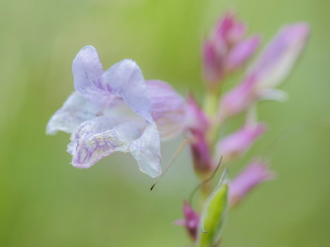 soft focus Blue Skullcap flower beautiful pink-white with green nature blurry background, other names include mad dog skullcap, and side-flowering skullcap is a hardy perennial herb of the mint family