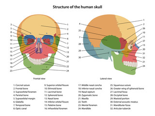 Structure of the human skull with main parts labeled. Anterior view and lateral view. Anatomical vector illustration in flat style isolated over white background.