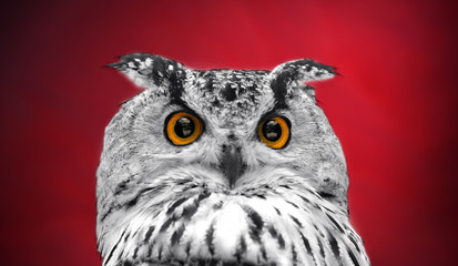 Wall Mural - A close look of the orange eyes of a horned owl on a dark red background. Focused on the eyes. In black and white with colored eyes.