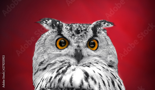 Wall mural A close look of the orange eyes of a horned owl on a dark red background. Focused on the eyes. In black and white with colored eyes.