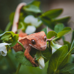 New Caledonian crested gecko with white flowers