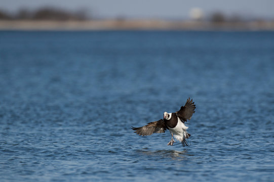 A Long-tailed Duck flares its wings and tail just before landing in the bright blue water on a sunny day.