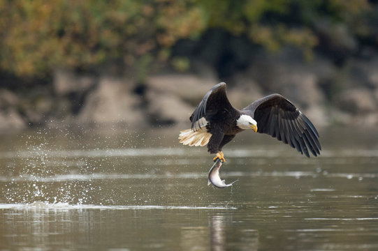 An adult Bald Eagle flies with a large fish in its talons and a big splash from grabbing it in soft overcast light.
