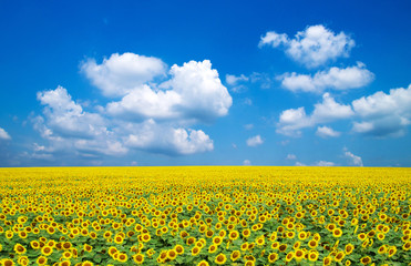 Wall Mural - sunflowers on a blue sky