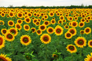 Sunflower field in summer. Beautifull background Fototapete