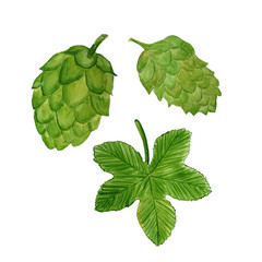 Watercolor illustration of hop plant. Cone of hop, hop`s leaf.