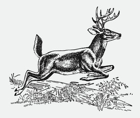 Male white-tailed or virginia deer (odocoileus virginianus) jumping over a lying tree trunk. Illustration after a historic engraving from the early 20th century