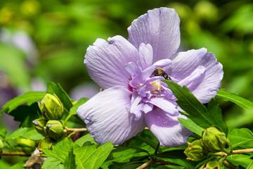Lavendar Hibiscus