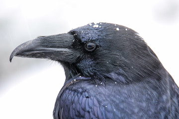 Portrait of common raven during snowfall