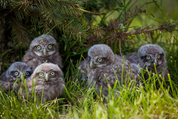 Little Owl Babies, 5 weeks old, on grass