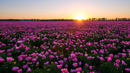 Chinese herbaceous peony fields