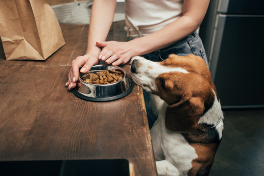 Cropped view of young woman giving pet food to adorable beagle dog