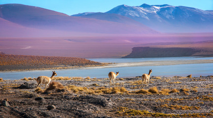 Poster Lama Scenic landscape with vicunas grazing on the Bolivian altiplano on a background of magnificent volcanoes and lakes