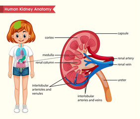 Scientific medical illustration of kidney anatomy