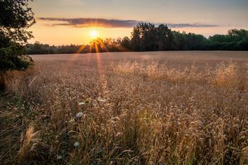 wschód słońca nad polami zboża