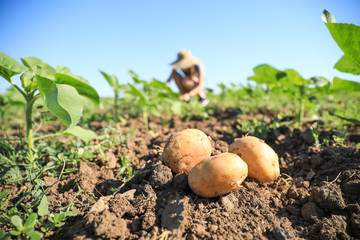Fresh potatoes in field on sunny day