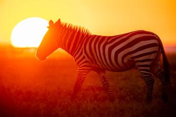 Poster Zebra Zebra vor untergehender Sonne