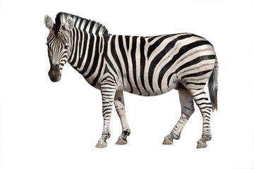 Foto auf AluDibond Zebra zebra isolated on white