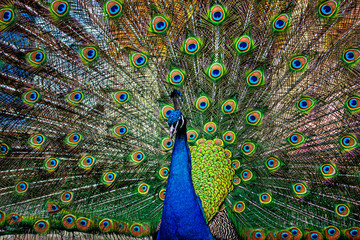 Papiers peints Paon beautiful peacock