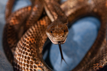 Pet serpent feeding time. An ominous looking hungry snake is viewed closeup and head on, it's beady eyes and hissing tongue hunt for prey.