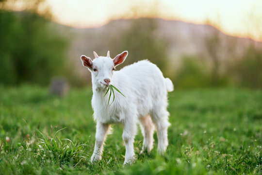 goat on a meadow