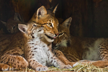 Photo on textile frame Lynx lynx mom plays with a cute little lynx kitten, kind and lovely.
