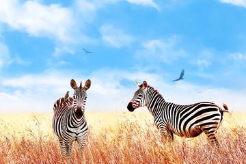Wall Mural - Zebra in the African savannah. Serengeti National Park. Africa. Tanzania. Square  format.