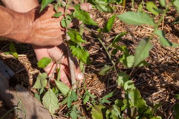 Au potager - Tomates - couper les gourmants