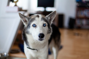 Blue-eyed husky dog in home environment. An inquisitive Siberian Husky is seen close up indoors. Snout view of a one year old healthy pet dog with short white and grey coat stands in family room.