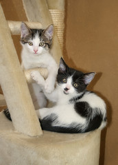 Two cute cat kittens, bicolor tabby and black with white, playing together on a scratching post and watching curiously