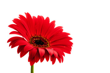 Red gerbera flower on white background