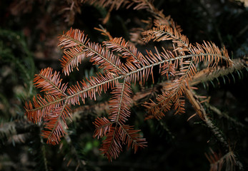 A branch of a fir tree turned red because of drought is seen in the Vosges montains near Masevaux