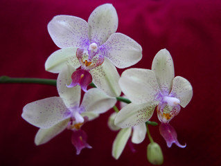 Aluminium Prints Orchid macro di orchidee su sfondo rosso