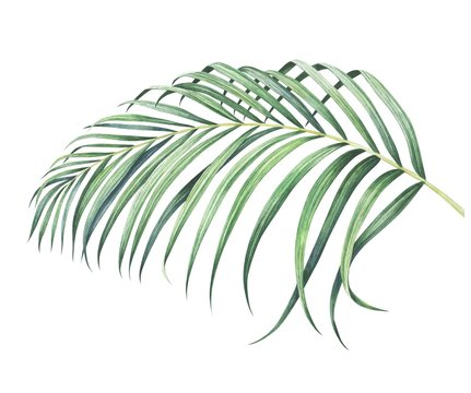 Tropical palm branch isolated on white. Watercolor hand drawn illustration.