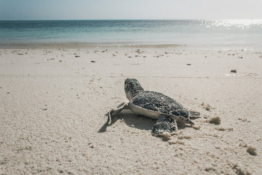 COZUMEL, Mexico: sea turtle hatching, baby turtle going towards the sea.