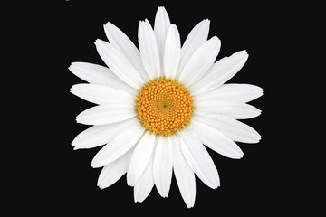 White and yellow daisy isolated with black background